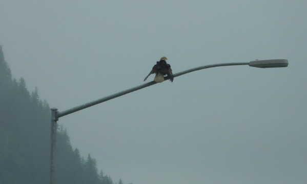 Bald Eagle on street light