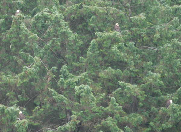 Four Bald Eagles