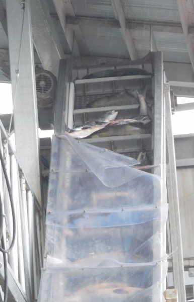 Fish Conveyor