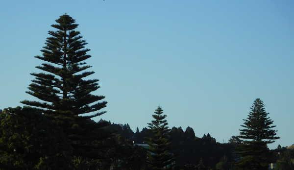 layered pine trees