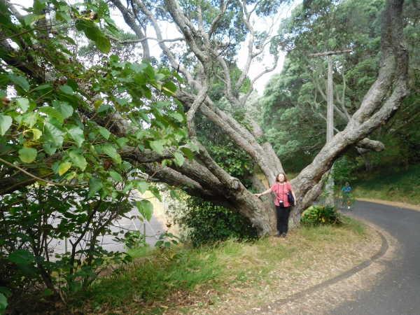 Devonport tree